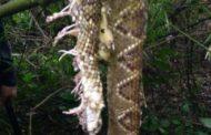 Estaba cazando en el Cuñá Pirú y murió al ser mordido por una cascabel